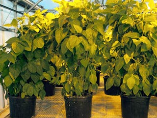 Soybeans in Greenhouse